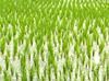 Agricolas